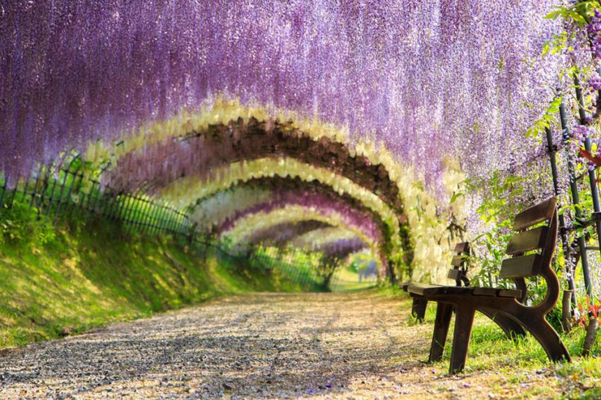 Túnel de las glicinias en flor de los jardines Kawachi Fuji (Kitakyushu, Japón)