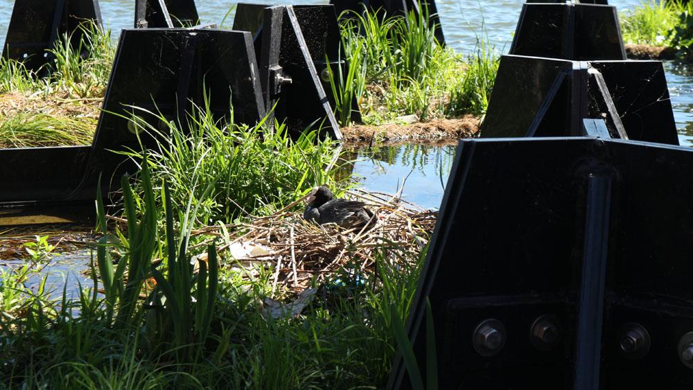 Un pato descansa en su nido