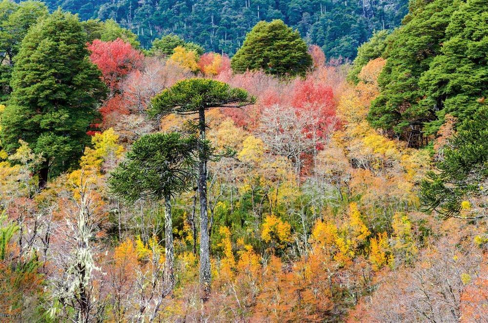 Araucanía, la gran floresta chilena / National Geographic