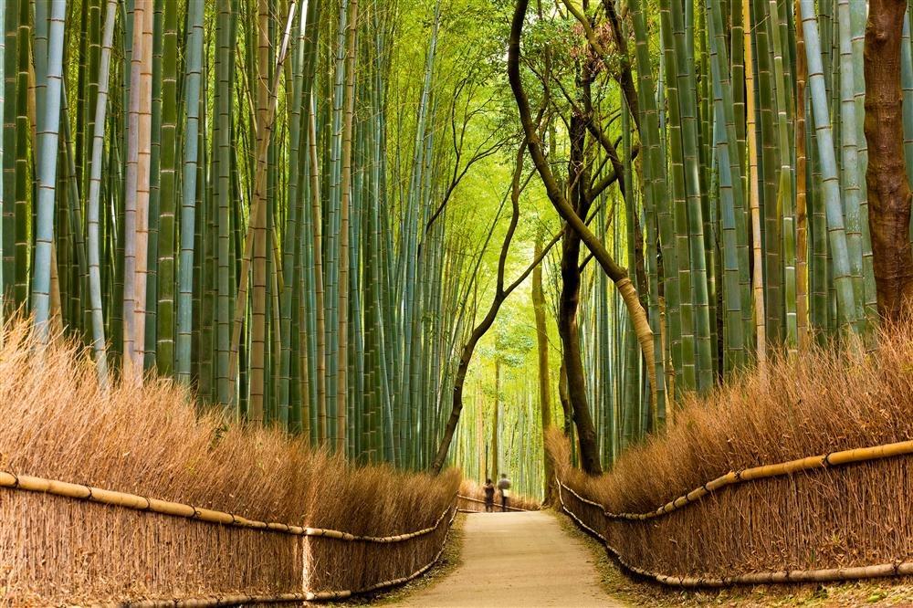 Bambús de Sagano en Japón / National Geographic