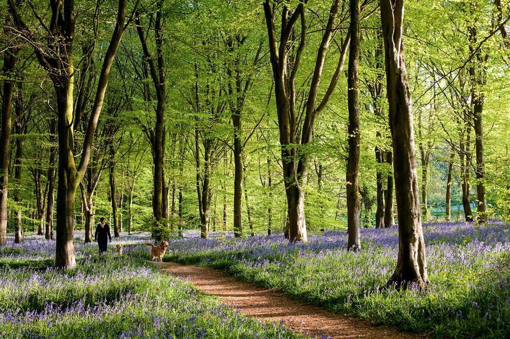 Bosque de lavanda (Savernake Forest), Campiña Inglesa / National Geographic