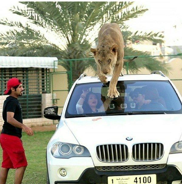 Otro león / Scoop Whoop