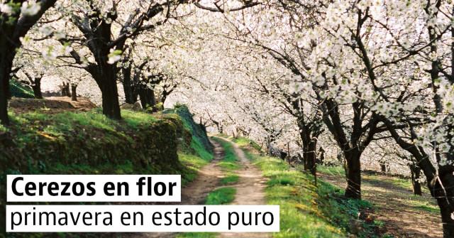 Los mejores rincones para disfrutar de los cerezos en flor