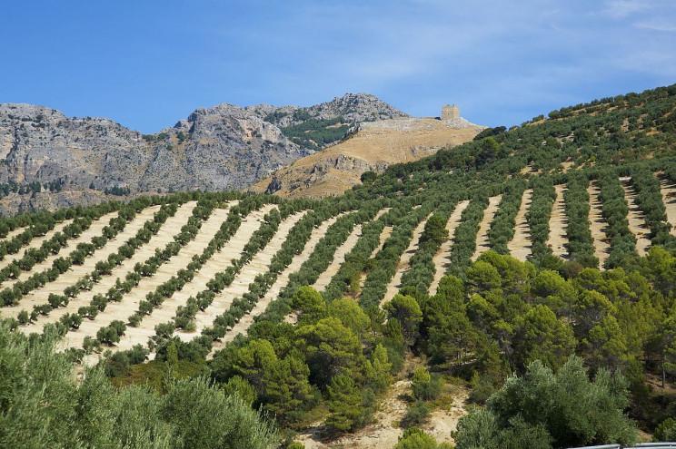 España : las rutas del aceite de oliva  Cazorla1