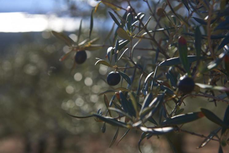 España : las rutas del aceite de oliva  Gatahurdes1